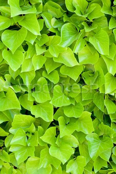 Klimop hoog textuur muur blad Stockfoto © pedrosala