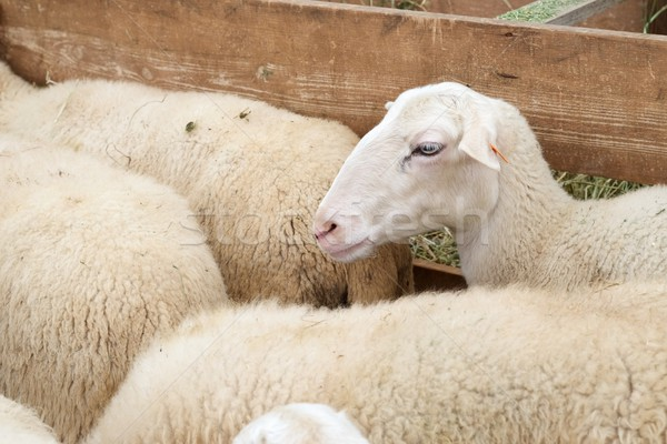 овец Пасху природы лет Сток-фото © pedrosala