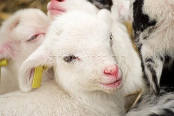 Piccolo agnello primo piano baby faccia natura Foto d'archivio © pedrosala