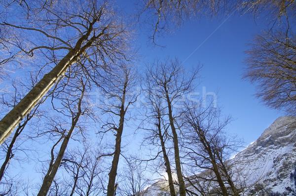Fagus sylvatica Stock photo © pedrosala