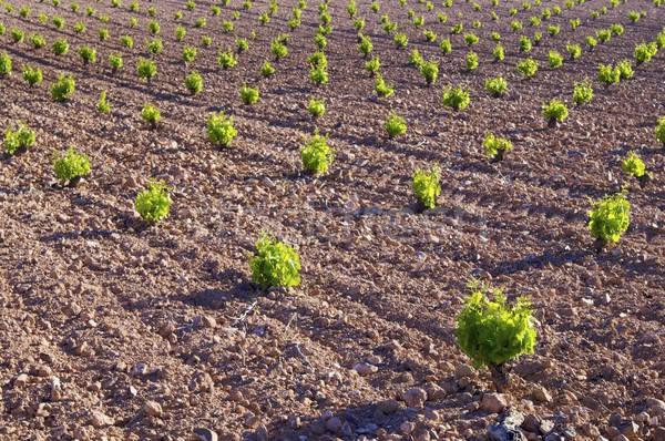 Foto stock: Vina · detalle · manana · hierba · puesta · de · sol · naturaleza
