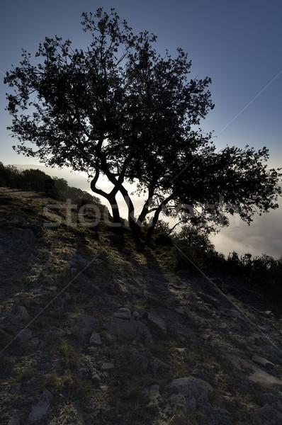 backlit oak Stock photo © pedrosala