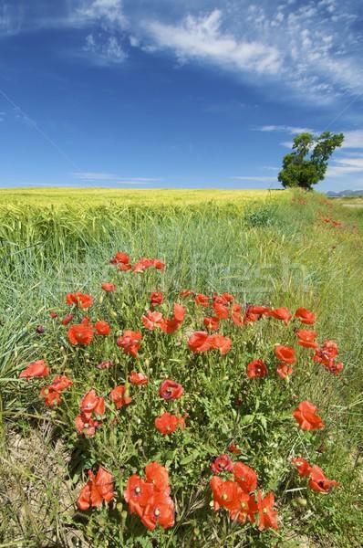 Colorido campo flores vermelhas cereal céu Foto stock © pedrosala