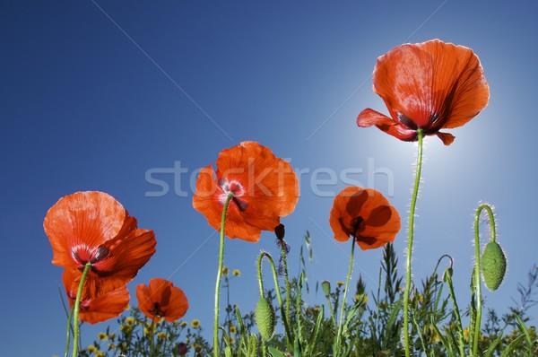 Poppies Stock photo © pedrosala