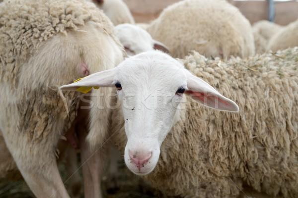 Moutons Pâques nature été Photo stock © pedrosala