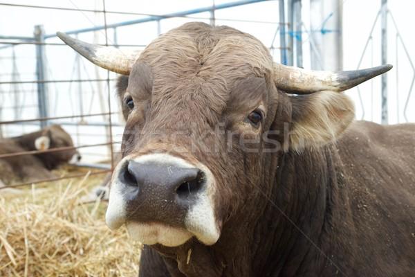 Bull Stock photo © pedrosala