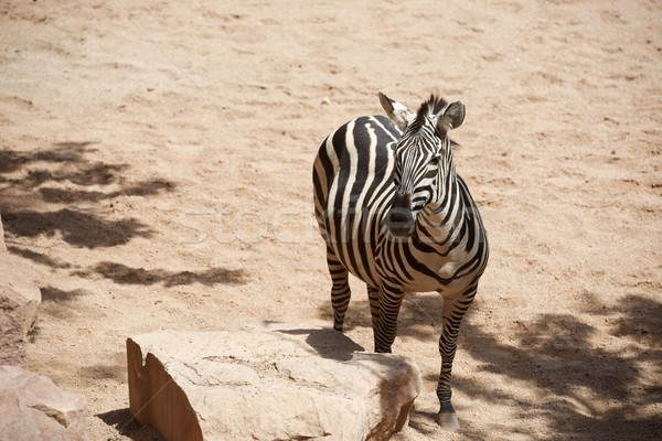 Stock photo: Zebra in a zoo
