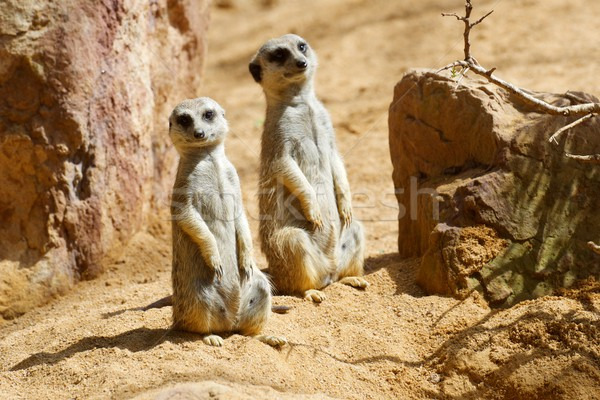 Hayvanat bahçesi hayvan esaret saç çöl güzellik Stok fotoğraf © pedrosala