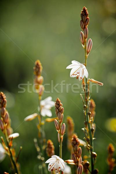 Vadvirág közelkép virág fű rózsaszín gyönyörű Stock fotó © pedrosala
