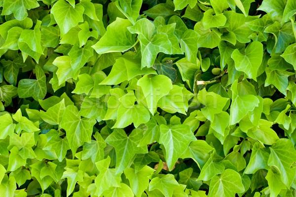 Sarmaşık yüksek karar duvar doğa yaprak Stok fotoğraf © pedrosala