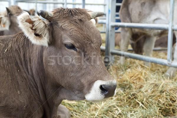 Stock fotó: Tehén · közelkép · szarvasmarha · vásár · fű · természet