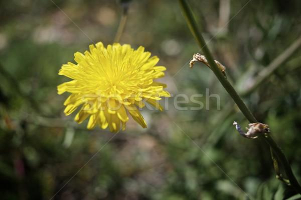 Dziki kwiat kwiat projektu tle zielone Zdjęcia stock © pedrosala
