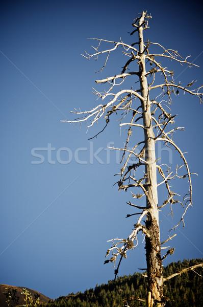 Toter Baum Ansicht blauer Himmel Himmel Baum blau Stock foto © pedrosala