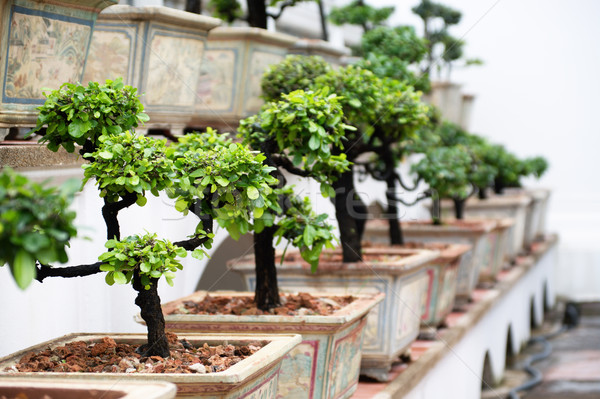 Row of bonsai trees Stock photo © pekour