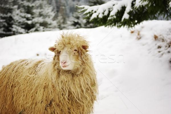 White sheep in the snow Stock photo © pekour