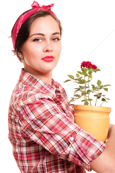 Frumos casnica ghiveci de flori trandafir izolat alb Imagine de stoc © pekour