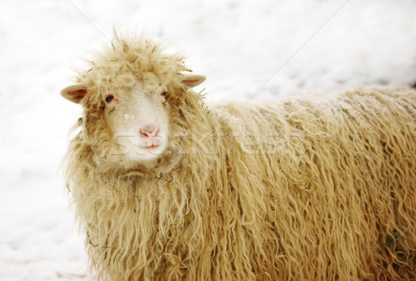 White sheep on the snow with pine needles in fur Stock photo © pekour