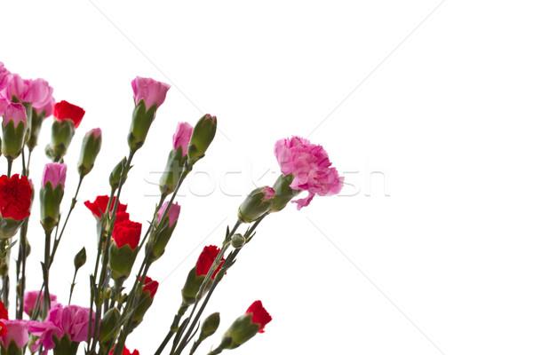 beautiful carnation Stock photo © Peredniankina