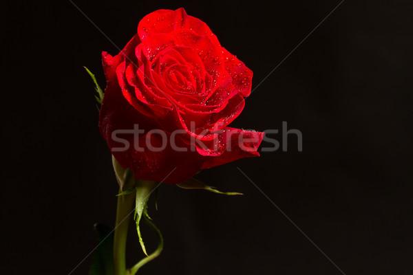 Piros rózsa vízcseppek fekete virág virágok víz Stock fotó © Peredniankina