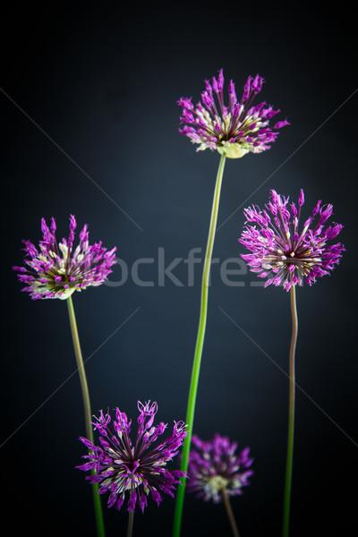 Gyönyörű virág fekete virágok tavasz kert Stock fotó © Peredniankina