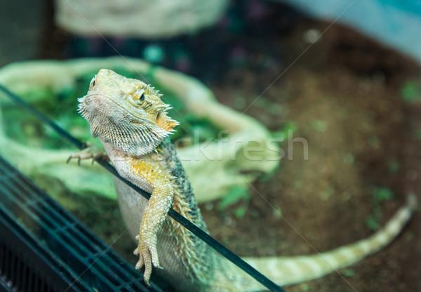 Tropikalnych jaszczurka na zewnątrz klatki wody Zdjęcia stock © Peredniankina