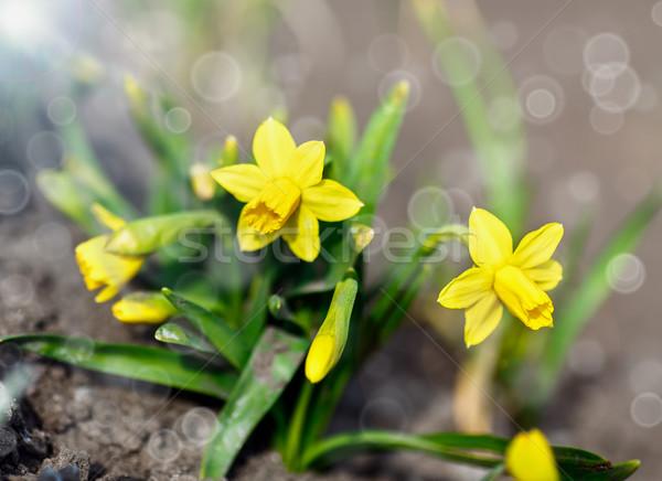 Narcisos jardín sol Pascua primavera fondo Foto stock © Peredniankina