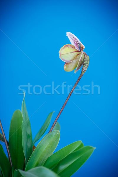 lady's slipper orchid Stock photo © Peredniankina