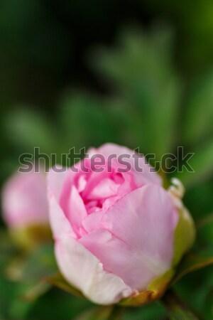красивой розовый Солнечный лет день Сток-фото © Peredniankina