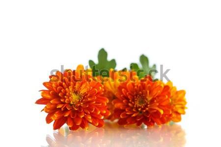 orange chrysanthemum Stock photo © Peredniankina