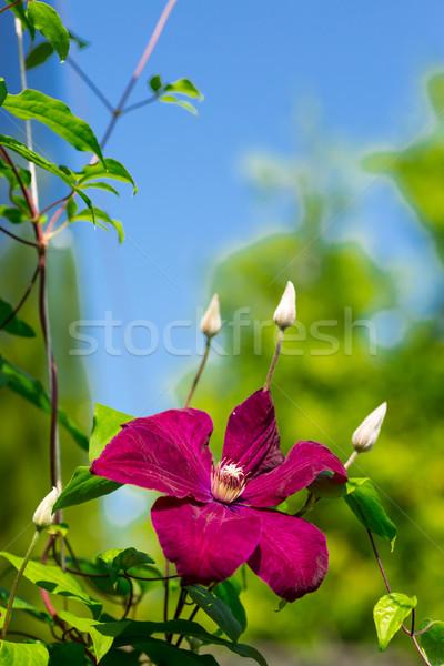 Belo grande roxo flor crescente ao ar livre Foto stock © Peredniankina