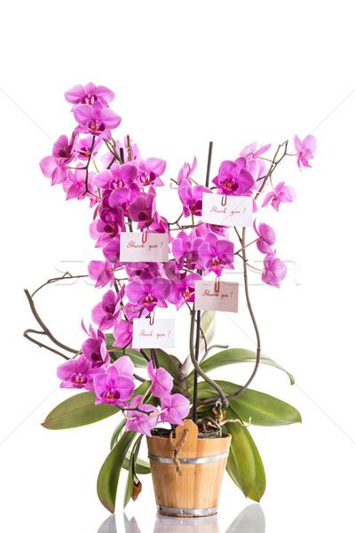 phalaenopsis Stock photo © Peredniankina