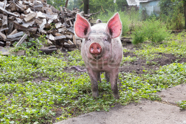 свинья фермы молодые ходьбе лет день Сток-фото © Peredniankina