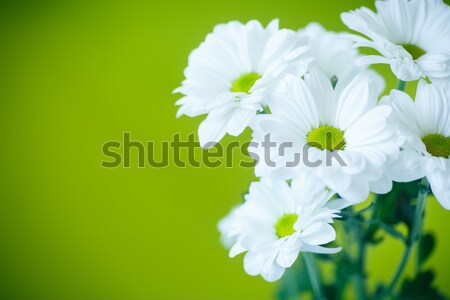 Piękna białe kwiaty chryzantema zielone kwiat charakter Zdjęcia stock © Peredniankina
