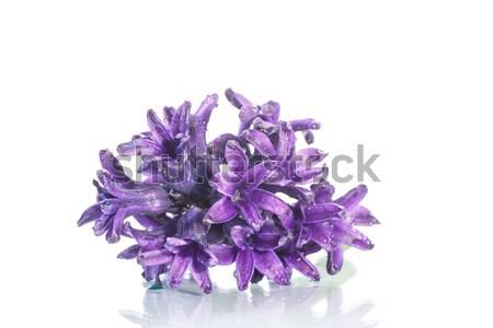 hyacinth Stock photo © Peredniankina