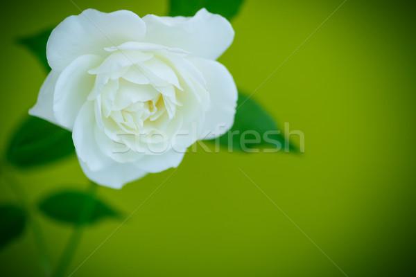 Fehér gyönyörű rózsa zöld esküvő háttér Stock fotó © Peredniankina