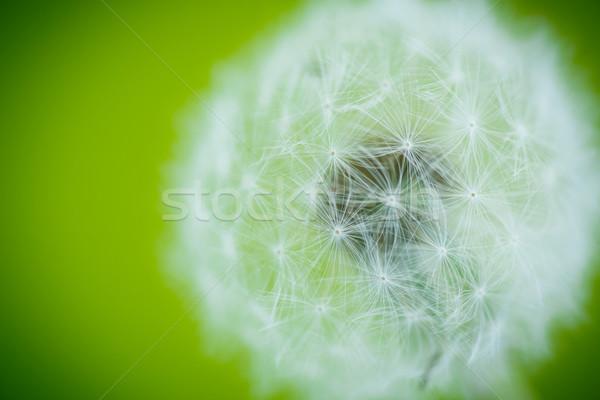 Dandelion grande verde flor verão Foto stock © Peredniankina