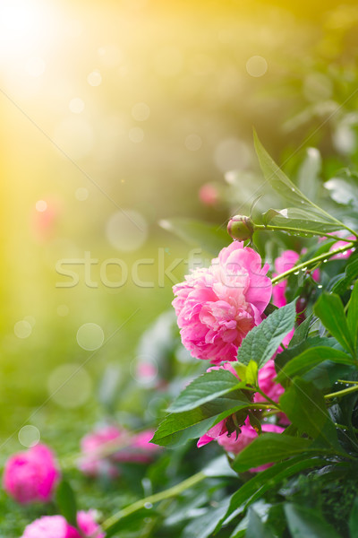 Jardim ensolarado verão dia flor Foto stock © Peredniankina