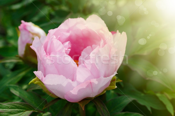 Stock photo: beautiful pink peony