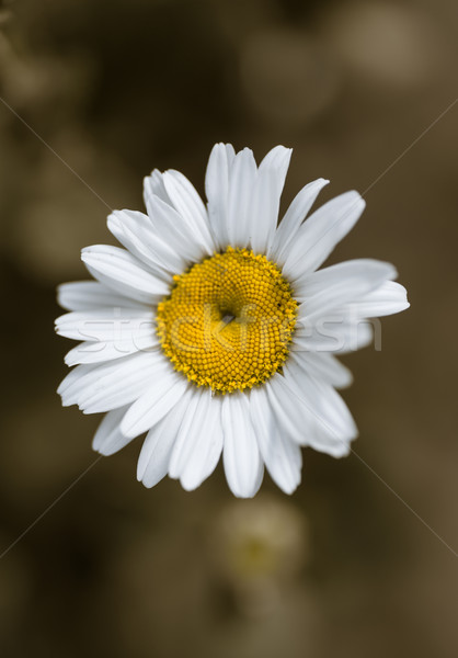blooming white daisy Stock photo © Peredniankina