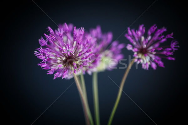 Allium Stock photo © Peredniankina