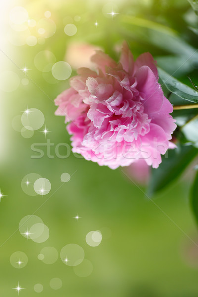 blooming peony Stock photo © Peredniankina
