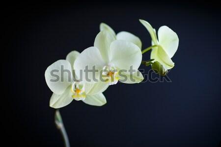 branch beautiful white orchid Stock photo © Peredniankina