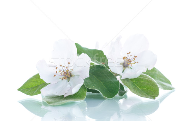 Primavera florescimento marmelo árvore branco fruto Foto stock © Peredniankina