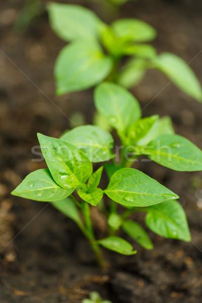 Jovem pimentas crescente abrir campo natureza Foto stock © Peredniankina