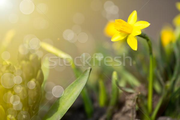 нарциссов саду солнце Пасху весны фон Сток-фото © Peredniankina