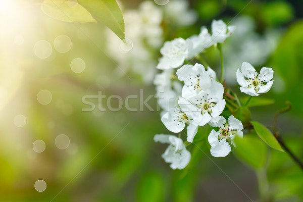 cherry blossoms  Stock photo © Peredniankina