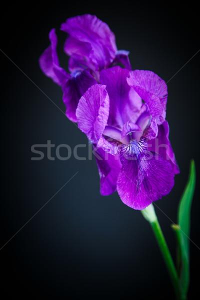 írisz gyönyörű virág fekete levél háttér Stock fotó © Peredniankina