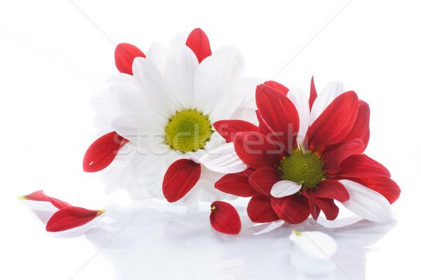 Piros fehér krizantém virágok szépség nyár Stock fotó © Peredniankina