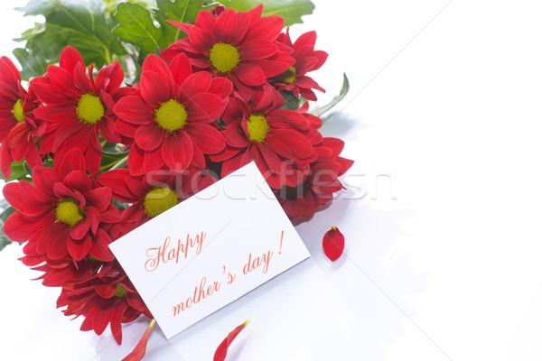 beautiful red blooming chrysanthemum  Stock photo © Peredniankina