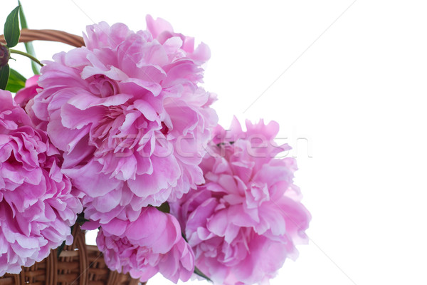beautiful pink peonies Stock photo © Peredniankina